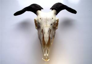 Pagan_Alter_Goat_Skull