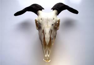 Pagan_Alter_Goat_Skull